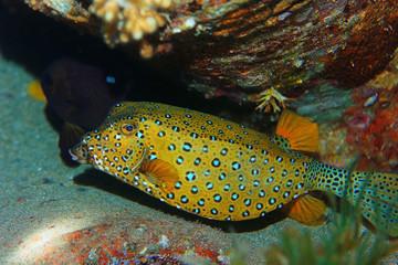 boxfish fish underwater photo