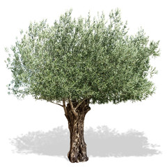 Olive tree  on a white background.