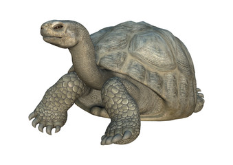 3D Rendering Turtle Galapagos Tortoise on White