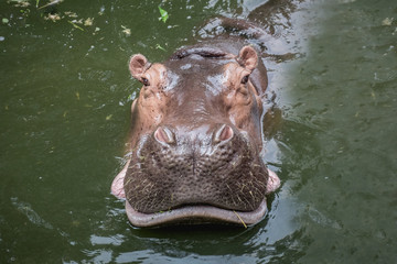 Hippopotamus swimming in water