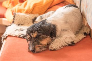 Hund schläft entspannt auf dem Sofa - Jack Russell Terrier