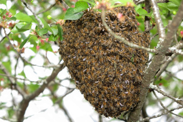 Close up honeybee swarm hanging at tree in the nature.