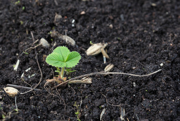 strawberries sprout in the spring garden