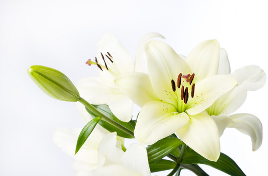 Full White Lily Stem and Flowers