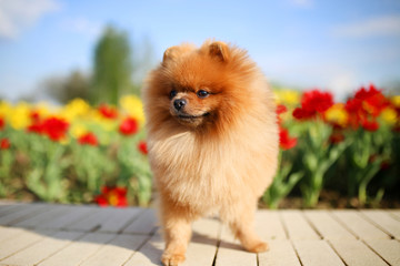 Pomeranian dog on a walk. Dog outdoor. Beautiful dog