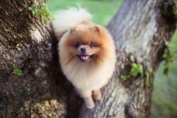 Pomeranian dog on tree. Beautiful dog. Spitz