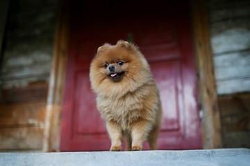 Beautiful pomeranian dog. Serious dog near door. Cute dog