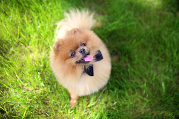 Pomeranian dog on green grass. Dog outdoor. Beautiful dog. Spitz