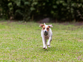 Purebred Jack Russell Terrier Female Dog Running