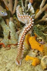 Marine life, a bearded fireworm, marine bristleworm, Hermodice carunculata, underwater in the Caribbean sea
