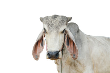 Cow white background