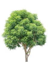 Neem tree white background
