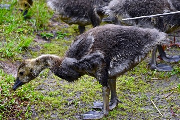 Young geese feeding on land