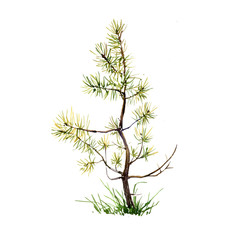 watercolor young pine tree and grass