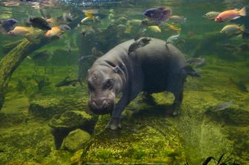 Hippo, pygmy hippopotamus under water
