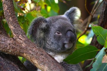 Baby cub Koala on a tree