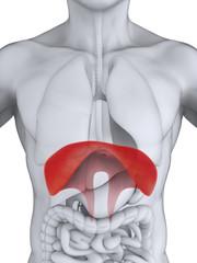 Human Diaphragm Anatomy Illustration. 3D render