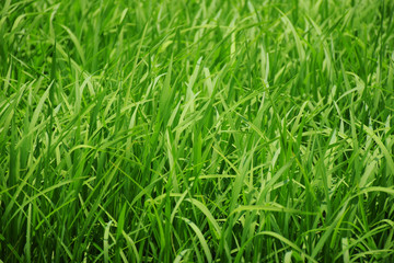 Green Grass Field / Green Grass Field, Natural Green Grass Depth of Field