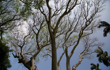 Branches of an old banyan tree in Kapaau