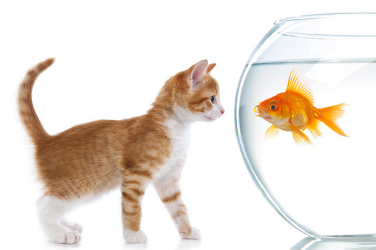 The cat looks at fish in an aquarium