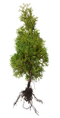 Thuja with root