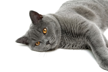 gray cat lying on a white background
