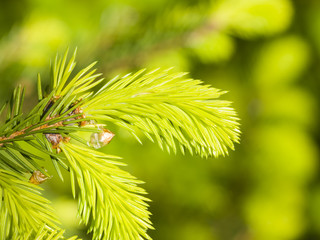Young needles on branch Norway spruce, Picea abies, with bokeh background, macro, selective focus, shallow DOF