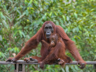 Wall Murals Ostrich Mother orangutan and her baby, a teenager sitting on a wooden platform in the jungle of Indonesia (Tanjung Puting National Park, Indonesia, Borneo / Kalimantan)