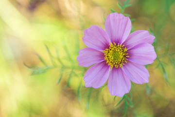 Pink cosmos flowers in the garden, Soft focus concept
