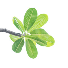 Wall Mural - Green leaf isolated on white background