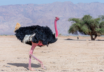 Male of African ostrich (Struthio camelus) in biblical nature reserve near Eilat, Israel