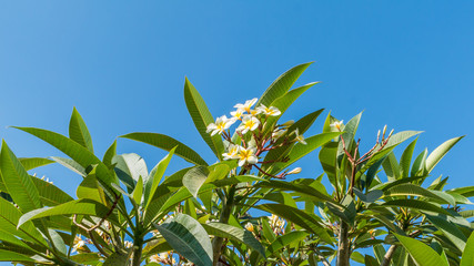 Plumeria tree on bright sky background