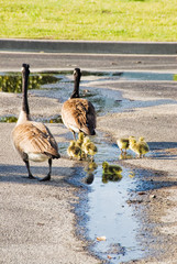 Canada Geese Family Walking through a Parking Lot