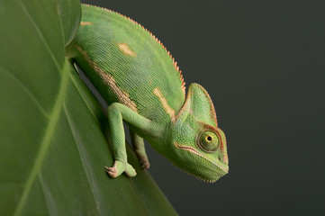 Veiled Chameleon (Chamaeleo Calyptratus)/Veiled Chameleon on plant against green background