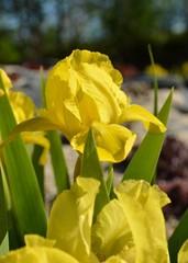 Iris Schwertlilie blüht gelb im Frühlingsgarten