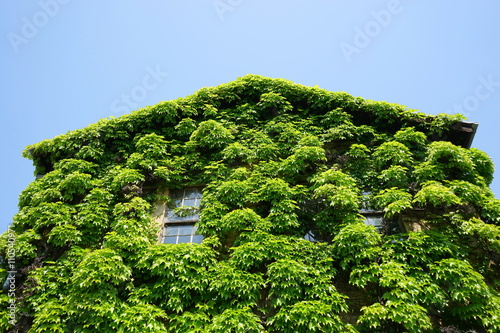 House covered with Ivy, Green ...