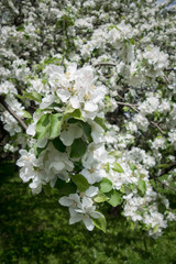A branch of Apple blossoms