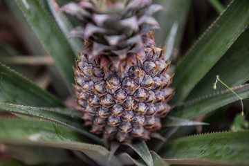 Pineapple Fruit Cultivation