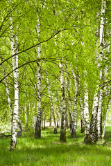 Brzozowy zagajnik wczesną wiosną w pogodny dzień. Młode brzozy z młodymi zielonymi liśćmi w...