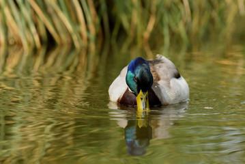 Mallard, Duck, Anas platyrhynchos