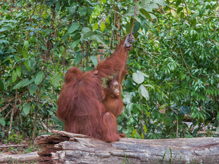 Curious child orangutan peeking out from under her mother's shoulder, on a stump (Borneo, Indonesia)