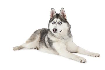 Purebred Siberian Husky dog isolated on white