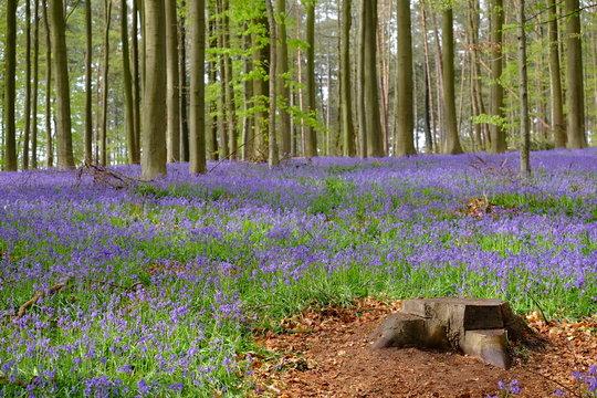 Spring at Hallerbos blue forest