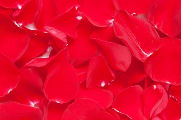 Red rose petals closeup