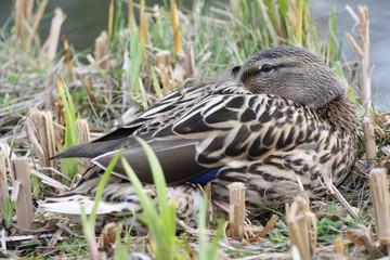Female Duck sitting in between reeds, Weibliche Ente sitzt im Schilf