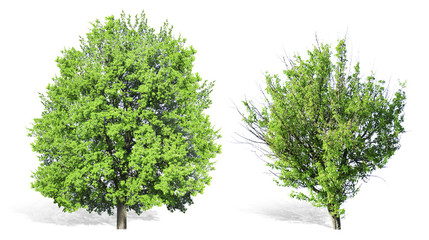 Alone tree, isolated on white