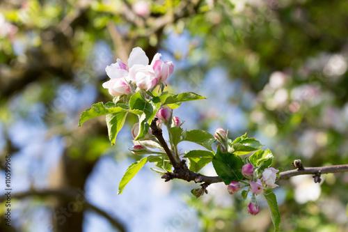 Fototapete Apfelbaum im Mai mit rosa und weißen Apfelblüten