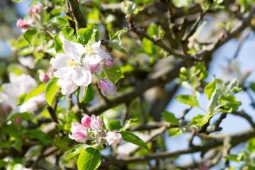 Fototapete - Apfelbaum mit weißen und rosa Blüten