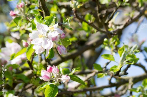 apfelbaum mit wei en und rosa bl ten stockfotos und lizenzfreie bilder auf bild. Black Bedroom Furniture Sets. Home Design Ideas
