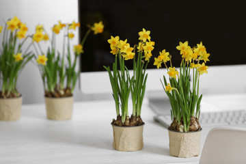 Blooming narcissus flowers on table indoors